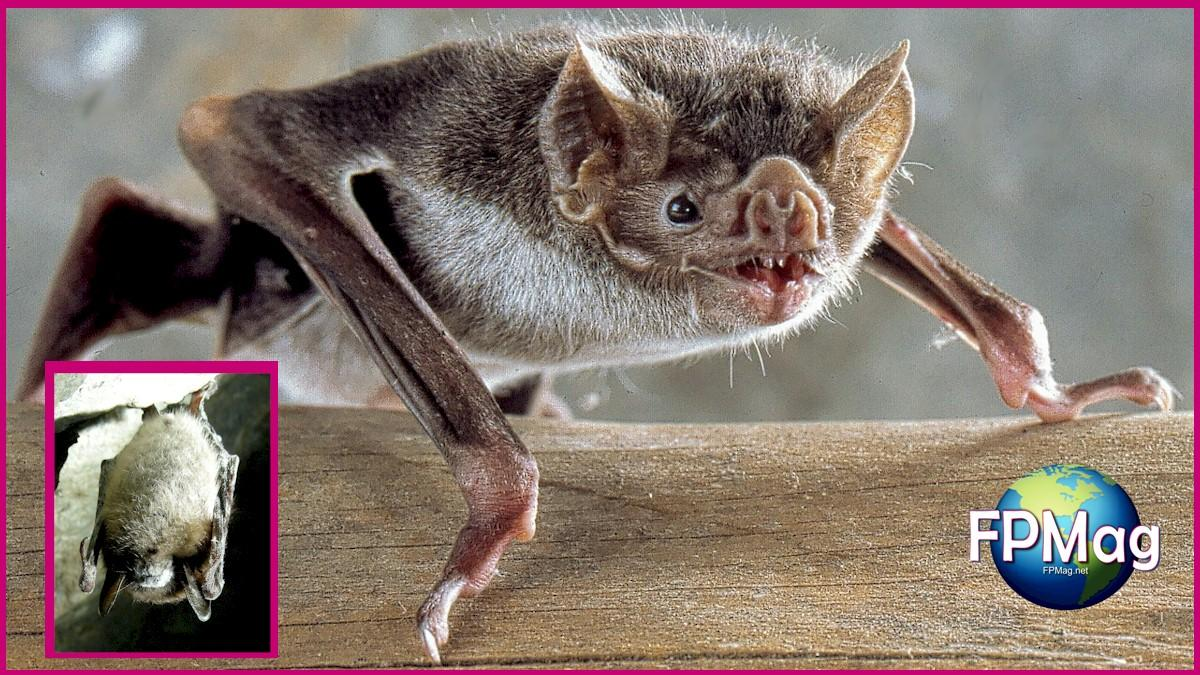 This is a vampire bat. The inset is a little brown bat with white nose syndrome